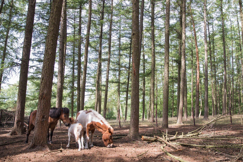 pony's in het bos